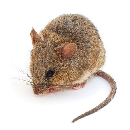 pest control image of rodent mouse
